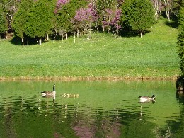 Goslings in Pond